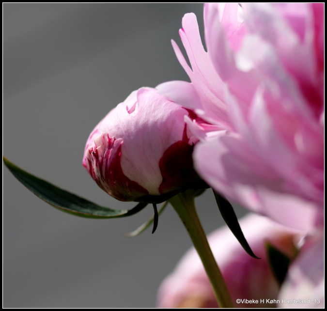 Peony, King of flowers