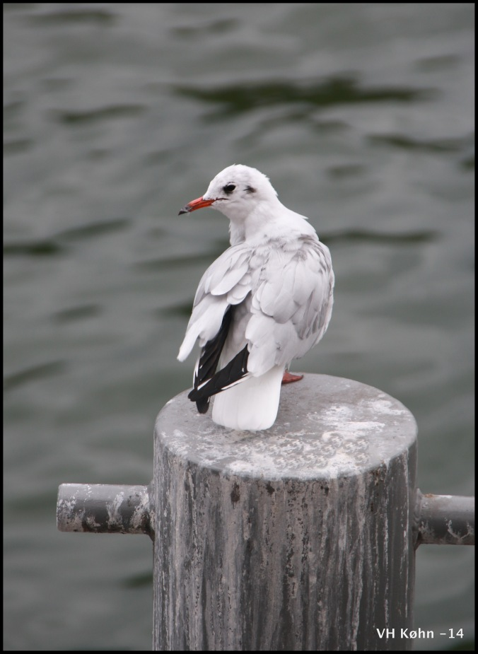 Seagull in Paris
